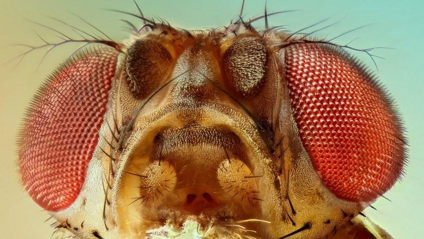 Плодовая мушка подсказала метод лечения заболеваний глаз