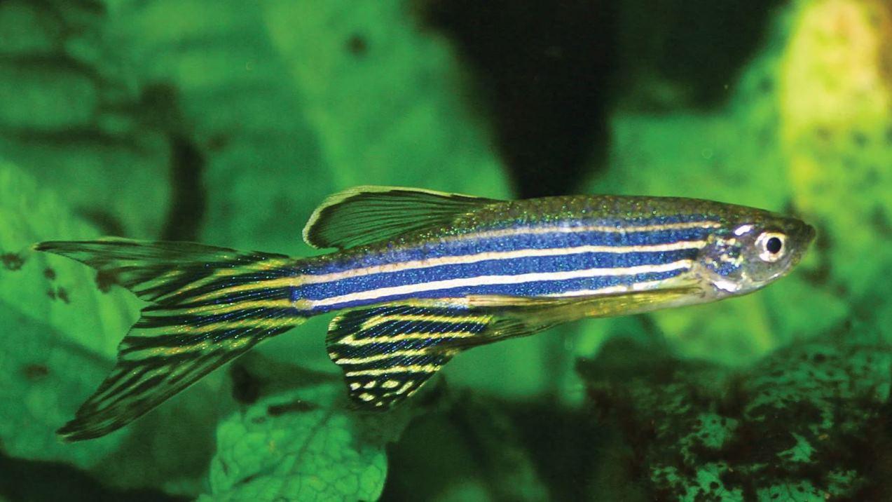 Гены рыбки данио могут помочь людям научиться регенерировать погибшие клетки сетчатки глаз